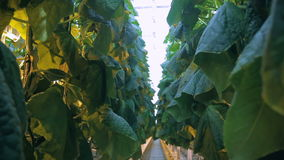 In a large greenhouse, even tall cucumbers with broad leaves grow evenly. stock footage