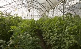 Large greenhouse for growing tomatoes. On earth Stock Images