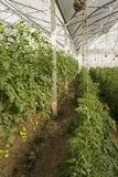Large greenhouse for growing tomatoes. On earth Royalty Free Stock Photo