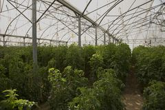 Large greenhouse for growing tomatoes. On earth Royalty Free Stock Image
