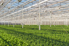 Large greenhouse with lots of little chrysanthemum cuttings Royalty Free Stock Photos