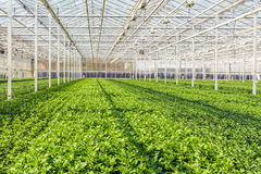 Large greenhouse with lots of little chrysanthemum cuttings Royalty Free Stock Photo