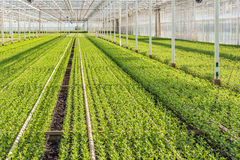 Large greenhouse with lots of little chrysanthemum cuttings Stock Images
