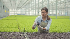 The large greenhouse technologist verifies the seedlings of basil. At the industrial agricultural enterprise, a specialist in gloves takes a glass with sprouts stock video footage