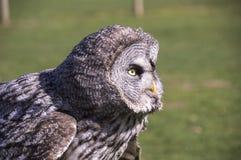 Large Grey Owl - closeup. Large Grey Owl staring away from camera Stock Photo