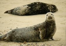 Large grey seal cow in Norfolk. stock photography