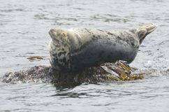 Large grey seal resting on rock Royalty Free Stock Photo