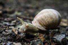 A Large Snail crossing a path Bavaria stock image