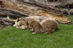 Large Grizzly Bear Stock Photography