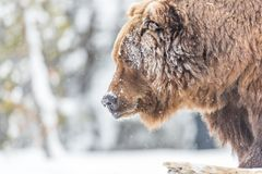 Large grizzly bear closeup in winter in Yellowstone stock photos