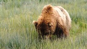 A large Grizzly Bear comes very close while eating large bites of grass and vegetation