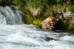Large grizzly bear eating fish in river. Large male brown bear catching salmon during the mating run in early July. Many bears come to the falls during the stock photos