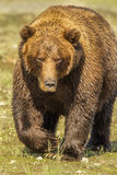 Large Grizzly Bear. Frontal View of Large Adult Grizzly Bear aka Alaskan Coastal Brown Bear Stock Photos