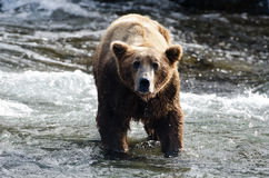 Large grizzly bear standing in water Royalty Free Stock Images