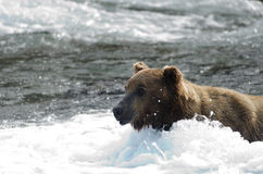 Large grizzly bear standing in water Stock Photos
