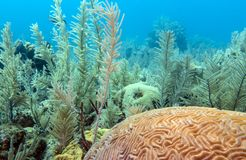 Large-grooved brain coral Royalty Free Stock Photos