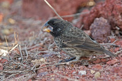 Large ground finch in Galapagos islands Stock Photography