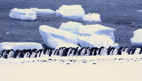 Large group of Adelie penguins Royalty Free Stock Image