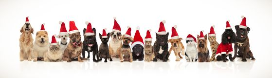 Large group of adorable cats and dogs with santa hats. Sitting and standing on white background with mouth open and tongue exposed royalty free stock images
