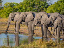 Large group of African elephants drinking in row at waterhole in golden afternoon light, Moremi NP, Botswana, Africa Royalty Free Stock Images