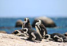 African pinguins at boulders beach in Simons town stock photography