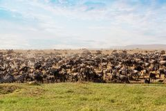 Large group of african safari animals. In Serengeti national park, Tanzania, Africa royalty free stock image