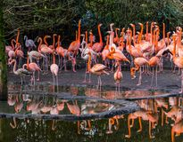 Large group of american flamingos standing together at the water coast, colorful and tropical birds from the galapagos islands. A large group of american stock image