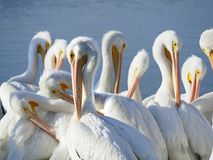 Group of American White Pelicans Preaning. Large Group of American White Pelicans Preaning at the Waters Edge Royalty Free Stock Photos