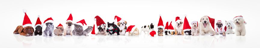 Large group of animals waring santa claus hat. On white background; dogs, cats, chinchilla, rabbits, guinea pigs Stock Image
