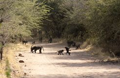 A large group of baboons royalty free stock images