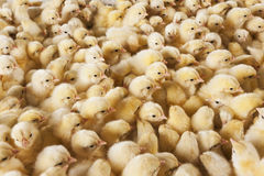 Large group of baby chicks on chicken farm Royalty Free Stock Image