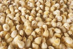 Large group of baby chicks on chicken farm stock images