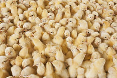 Large group of baby chicks on chicken farm Royalty Free Stock Photos