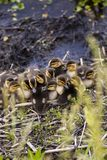 Ducklings huddled together stock photos