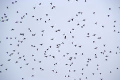 Large group of birds Royalty Free Stock Images
