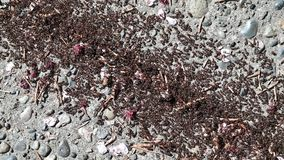 Large group of black ants walking on the concrete surface stock footage