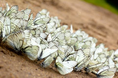 A large group of butterflies. A large group of butterflies sitting on the ground in the summer stock images
