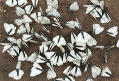 A large group of butterflies. A large group of butterflies sitting on the ground in the summer royalty free stock photo
