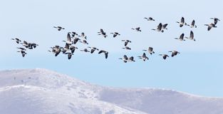 Canadian geese flying over the winter hills stock photo