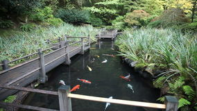 Large Group of Colorful Koi Fish Swimming in Garden Pond with Walking Wood Bridge and Plants Movie 1920x1080 stock video