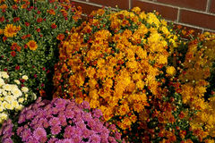 Colorful Group Mums Stock Photography