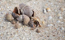 Large Group of Conch Shells. Large Group of Conch Shells Caribbean Royalty Free Stock Photo