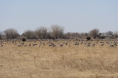 Large Group of Cranes in a Farm Field Royalty Free Stock Photo