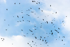 A large group of crows Royalty Free Stock Images