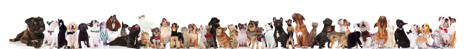 Large group of curious dogs and cats looking up royalty free stock images