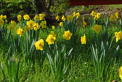 Large group of daffodils in a meadow. In spring Stock Image