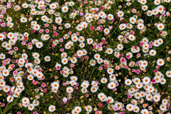Large group of daisies background springtime Stock Images