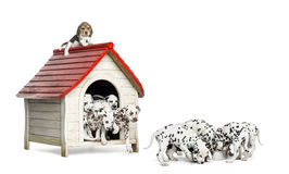 Large group of Dalmatian puppies playing and eating around a kennel. Isolated on white stock photos