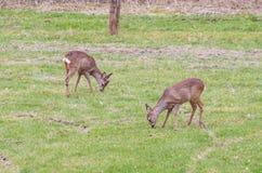 Large group of deer Stock Photos