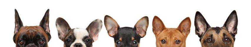 Large group of dog puppies half-face royalty free stock photo